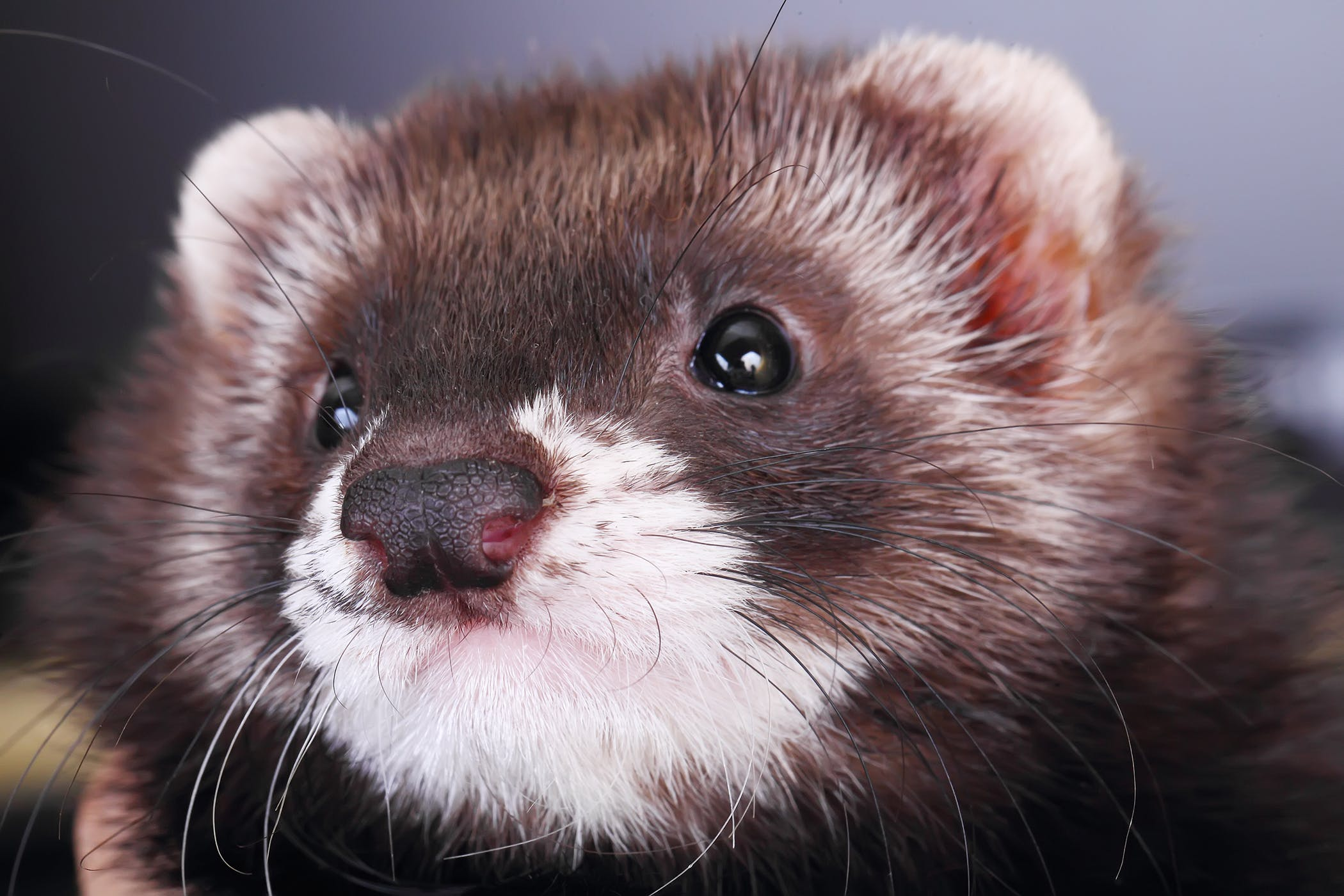 Human Influenza Virus in Ferrets