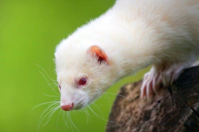 Hydronephrosis Due to Obstruction in Ferrets - Symptoms, Causes, Diagnosis, Treatment, Recovery, Management, Cost