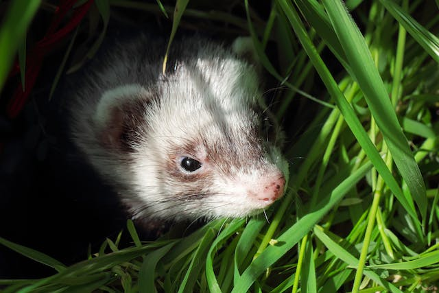 Hypersplenism in Ferrets - Symptoms, Causes, Diagnosis, Treatment, Recovery, Management, Cost