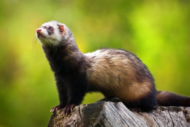 Increased Thirst And Urination in Ferrets - Symptoms, Causes, Diagnosis, Treatment, Recovery, Management, Cost