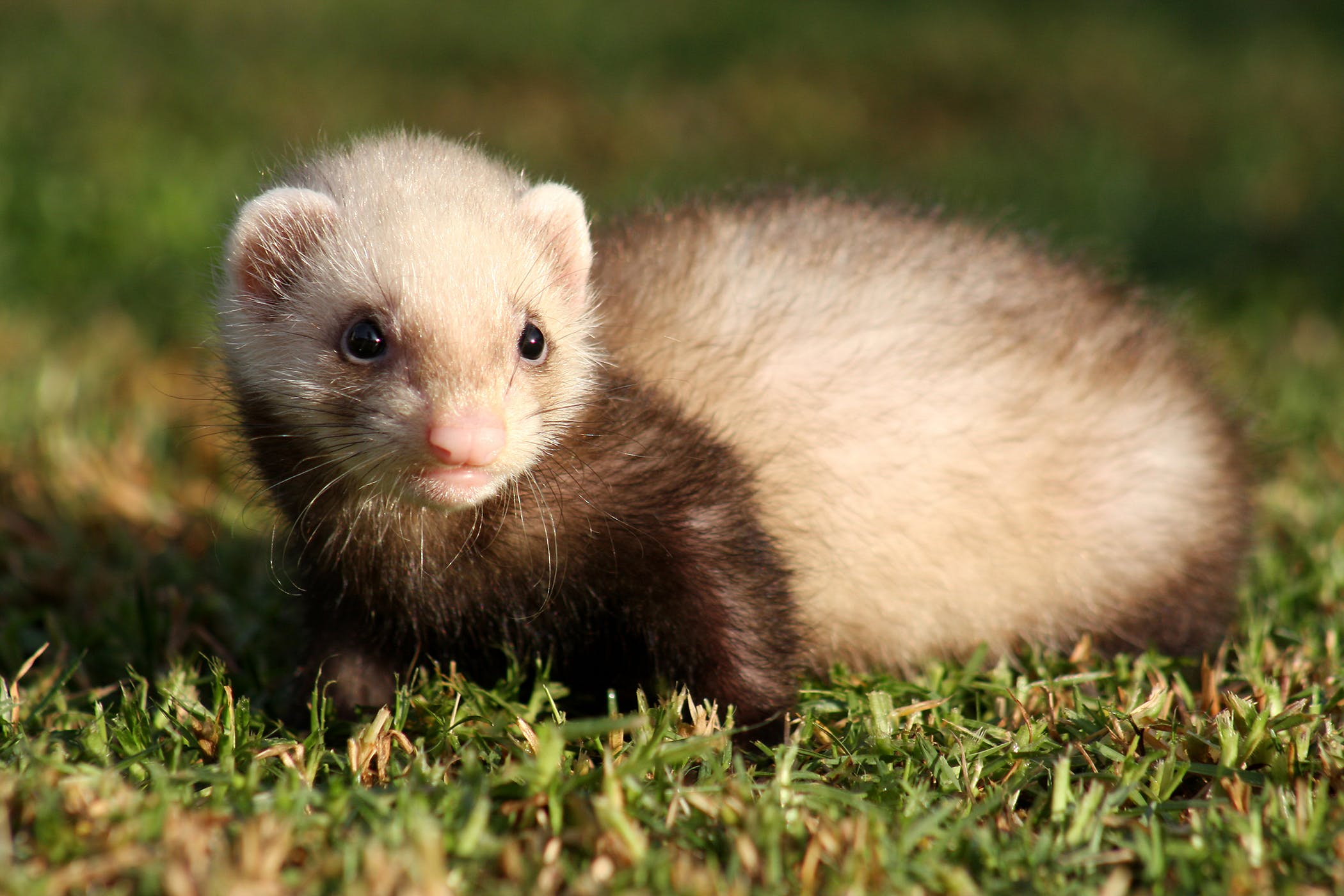 Inflammatory Bowel Disease in Ferrets