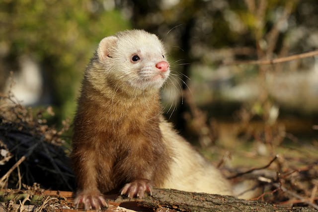 Insulinoma in Ferrets - Symptoms, Causes, Diagnosis, Treatment, Recovery, Management, Cost
