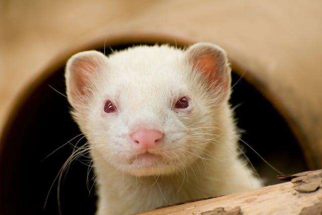 Kidney Disease in Ferrets - Symptoms, Causes, Diagnosis, Treatment, Recovery, Management, Cost