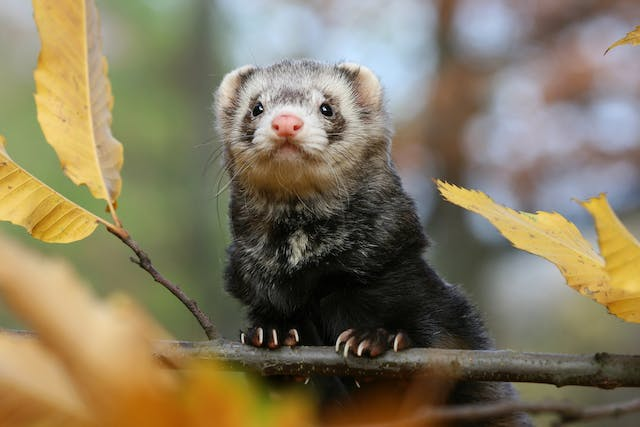 Kidney Failure in Ferrets - Symptoms, Causes, Diagnosis, Treatment, Recovery, Management, Cost