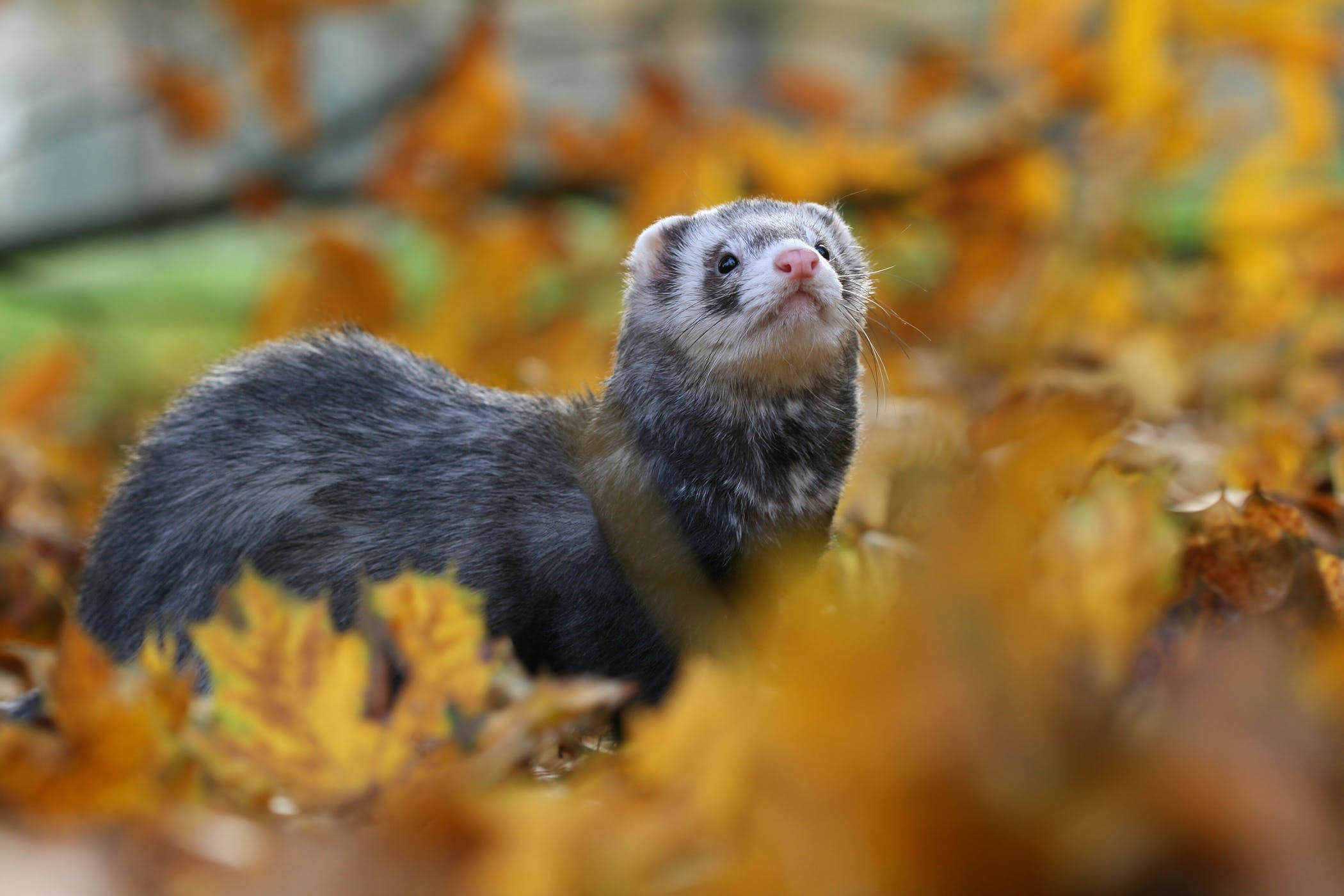 Lack of Coordination and Sensory Dysfunction in Ferrets