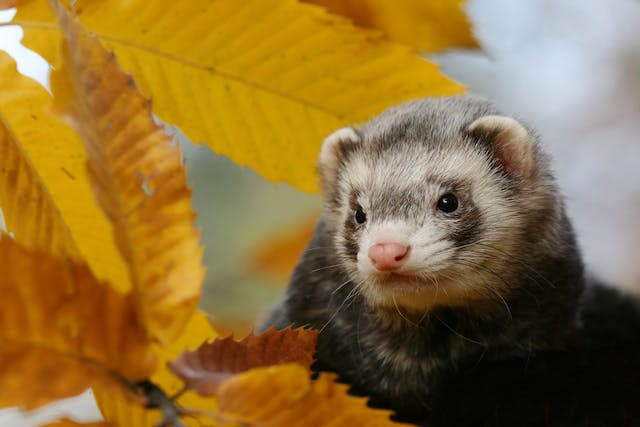 Large Bowel Diarrhea in Ferrets - Symptoms, Causes, Diagnosis, Treatment, Recovery, Management, Cost