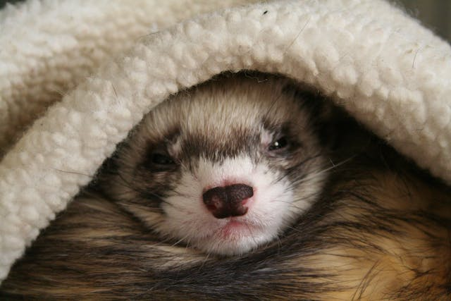 Lawsonia intracellularis in Ferrets - Symptoms, Causes, Diagnosis, Treatment, Recovery, Management, Cost
