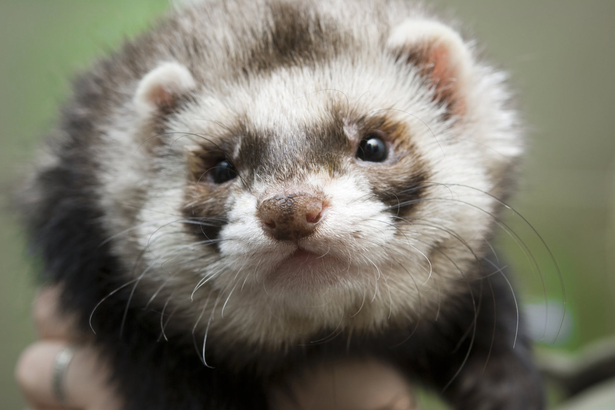Loss of Appetite in Ferrets