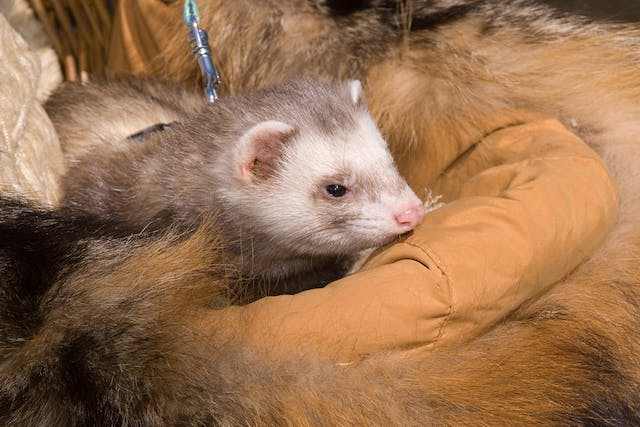 Low Blood Sugar in Ferrets - Symptoms, Causes, Diagnosis, Treatment, Recovery, Management, Cost