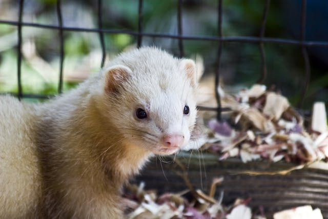 Lower Urinary Tract Infection in Ferrets - Symptoms, Causes, Diagnosis, Treatment, Recovery, Management, Cost