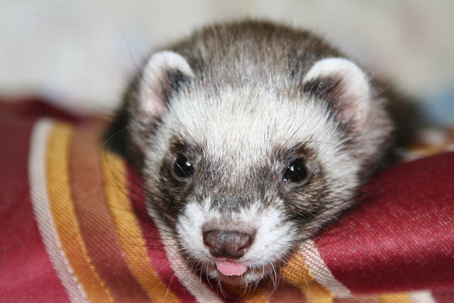 Lymphoma in Ferrets - Symptoms, Causes, Diagnosis, Treatment, Recovery, Management, Cost