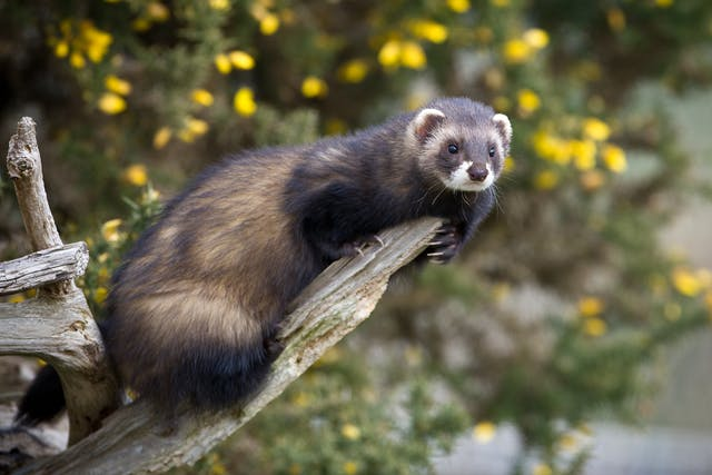 Lymphosarcoma in Ferrets - Symptoms, Causes, Diagnosis, Treatment, Recovery, Management, Cost