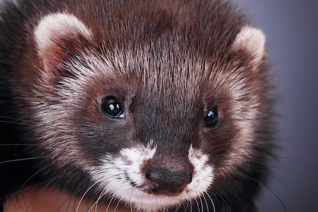 Mange in Ferrets - Symptoms, Causes, Diagnosis, Treatment, Recovery, Management, Cost