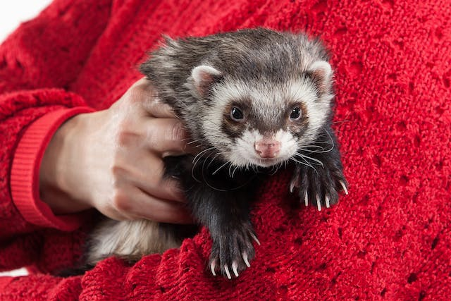 Measles in Ferrets - Symptoms, Causes, Diagnosis, Treatment, Recovery, Management, Cost