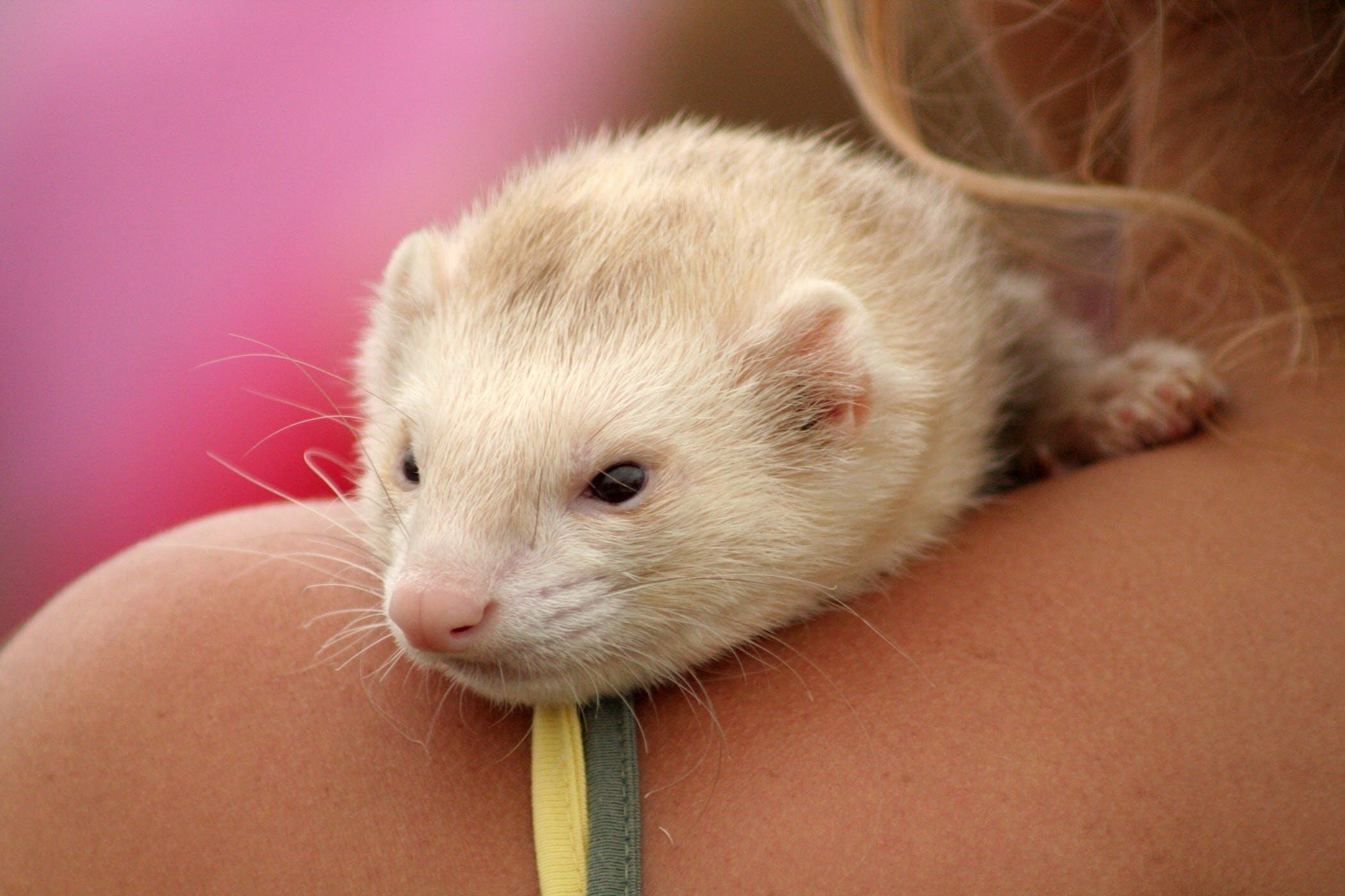 Overproduction of Estrogen in Ferrets - Symptoms, Causes