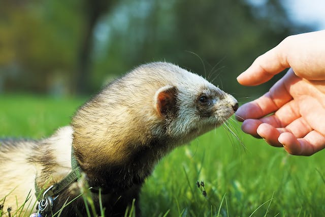 Paralysis and Paresis in Ferrets - Symptoms, Causes, Diagnosis, Treatment, Recovery, Management, Cost