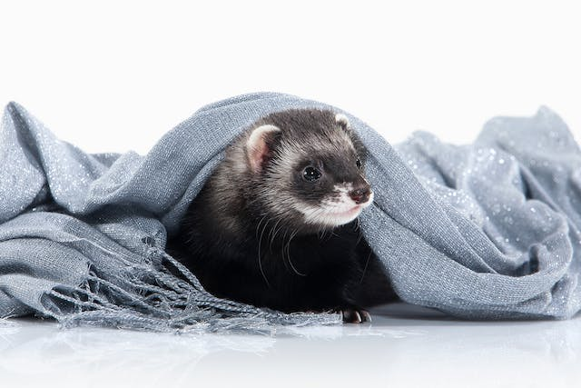 Parvovirus Infection in Ferrets - Symptoms, Causes, Diagnosis, Treatment, Recovery, Management, Cost