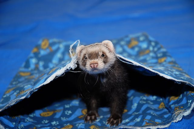 Pneumonia (Bacterial) in Ferrets - Symptoms, Causes, Diagnosis, Treatment, Recovery, Management, Cost