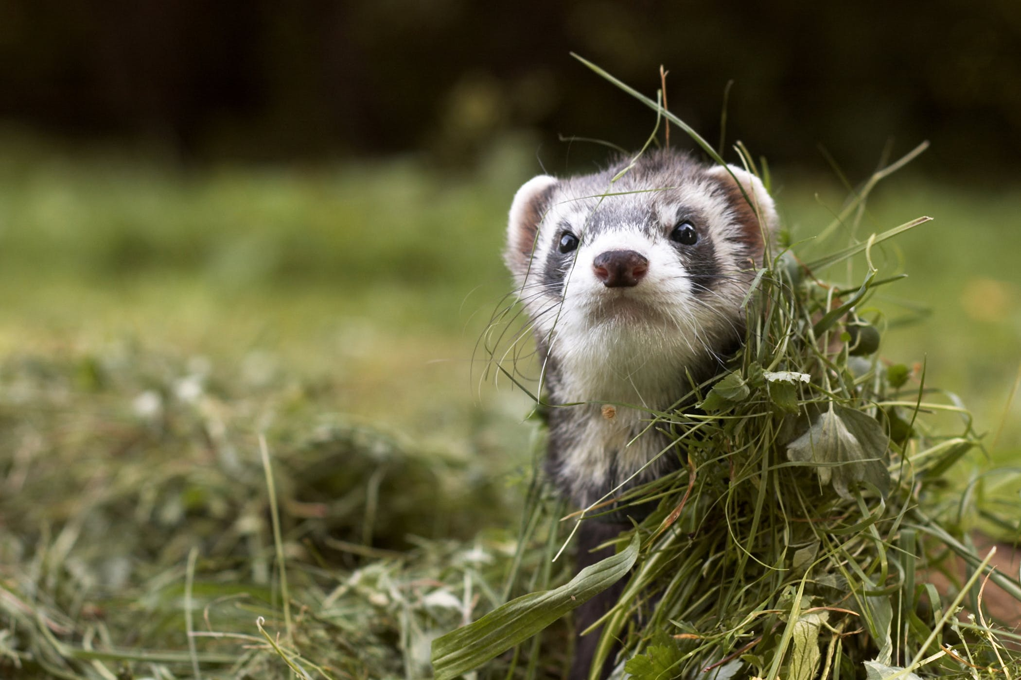 Pregnancy Complications and Labor Difficulties in Ferrets