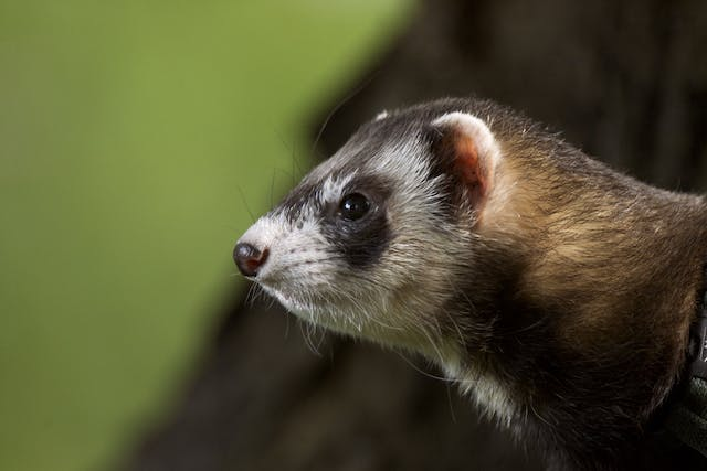 Proliferative Colitis in Ferrets - Symptoms, Causes, Diagnosis, Treatment, Recovery, Management, Cost