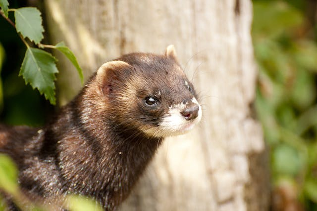 Pruritus in Ferrets - Symptoms, Causes, Diagnosis, Treatment, Recovery, Management, Cost