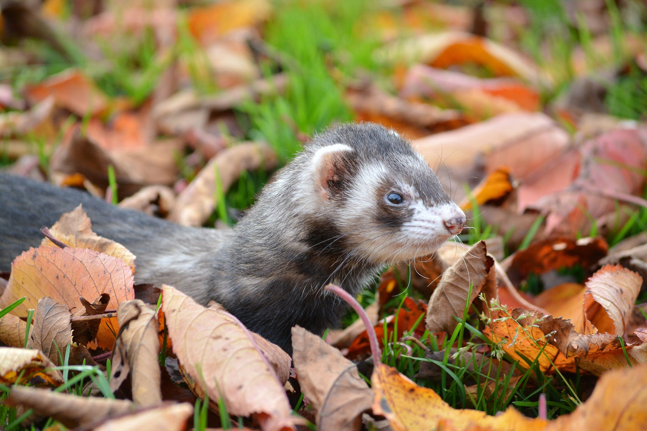 Rabies In Ferrets Symptoms Causes Diagnosis Treatment