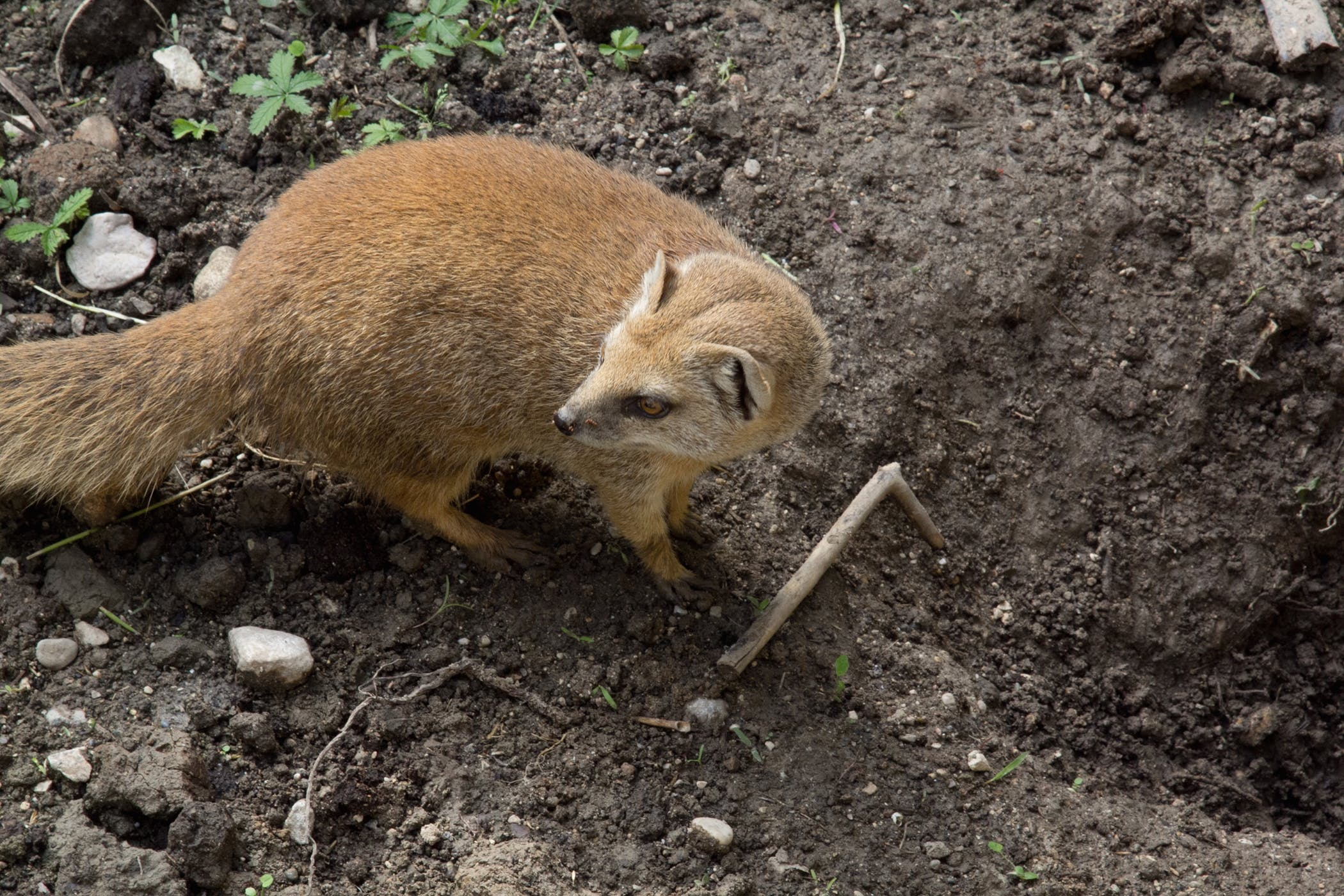 Regurgitation in Ferrets