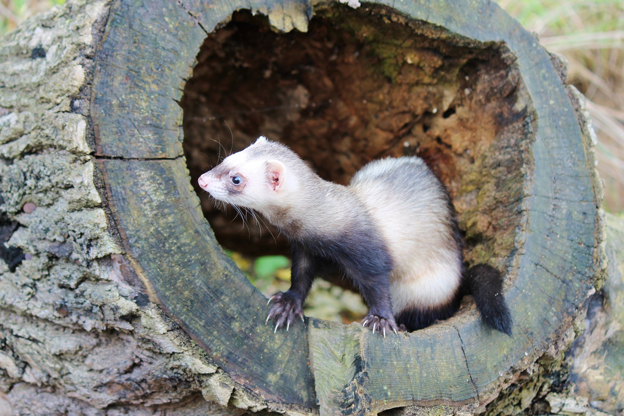 Renal Disease in Ferrets - Symptoms, Causes, Diagnosis, Treatment, Recovery, Management, Cost