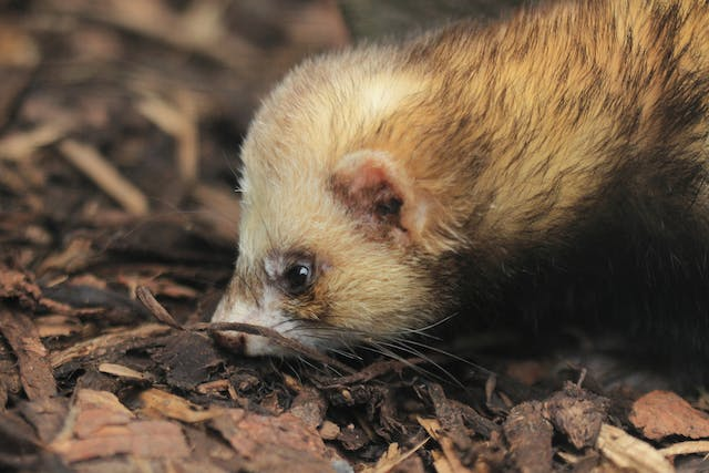 Respiratory Infections in Ferrets - Symptoms, Causes, Diagnosis, Treatment, Recovery, Management, Cost