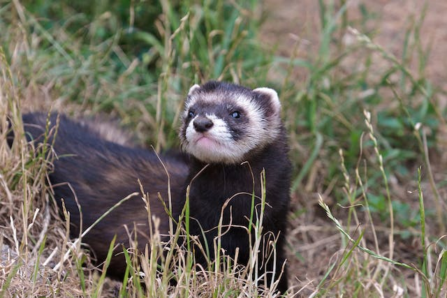 Ringworm in Ferrets - Symptoms, Causes, Diagnosis, Treatment, Recovery, Management, Cost