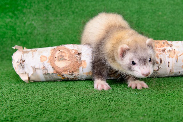 Runny Nose, Sneezing, and Gagging in Ferrets - Symptoms, Causes, Diagnosis, Treatment, Recovery, Management, Cost