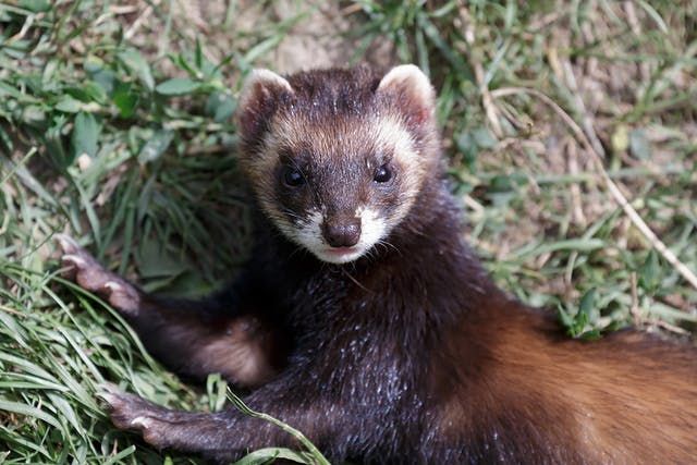 Salivary Mucocele in Ferrets - Symptoms, Causes, Diagnosis, Treatment, Recovery, Management, Cost