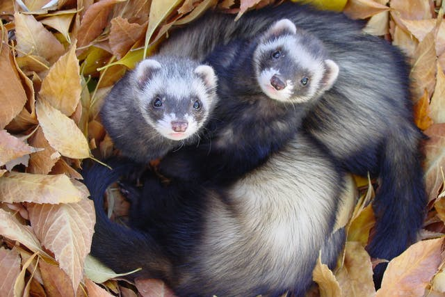 Salmonella Infection in Ferrets - Symptoms, Causes, Diagnosis, Treatment, Recovery, Management, Cost