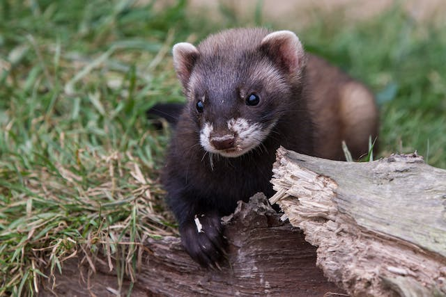 Stomach Ulcers in Ferrets - Symptoms, Causes, Diagnosis, Treatment, Recovery, Management, Cost
