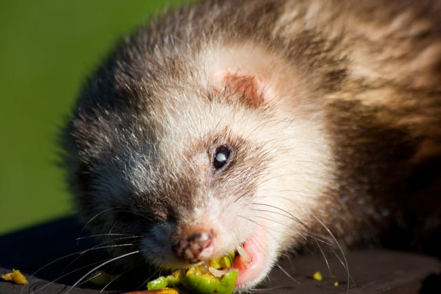 Tumors of the Musculoskeletal and Nervous Systems in Ferrets - Symptoms, Causes, Diagnosis, Treatment, Recovery, Management, Cost
