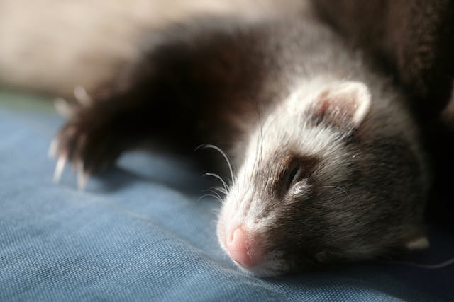 Tumors of the Skin, Hair, Nails, Sweat Glands in Ferrets - Symptoms, Causes, Diagnosis, Treatment, Recovery, Management, Cost