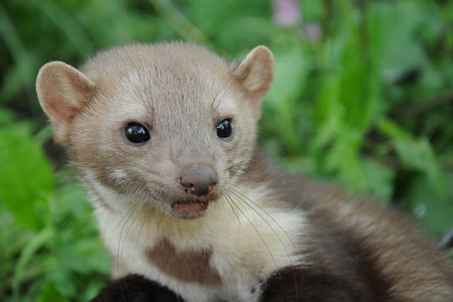 Urinary Tract Stones in Ferrets - Symptoms, Causes, Diagnosis, Treatment, Recovery, Management, Cost