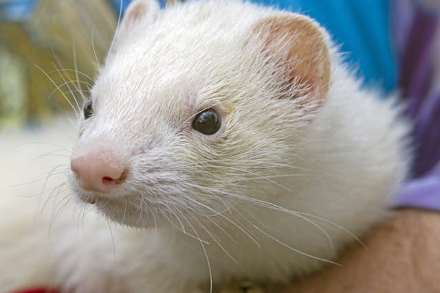 Uterine Infection and Pus in Ferrets - Symptoms, Causes, Diagnosis, Treatment, Recovery, Management, Cost