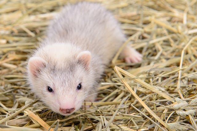 Vomiting in Ferrets - Symptoms, Causes, Diagnosis, Treatment, Recovery, Management, Cost
