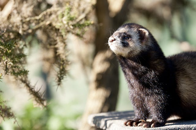Weight Loss in Ferrets - Symptoms, Causes, Diagnosis, Treatment, Recovery, Management, Cost
