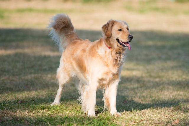 Fungal Infection (Malassezia pachydermatis) of the Skin in Dogs - Symptoms, Causes, Diagnosis, Treatment, Recovery, Management, Cost