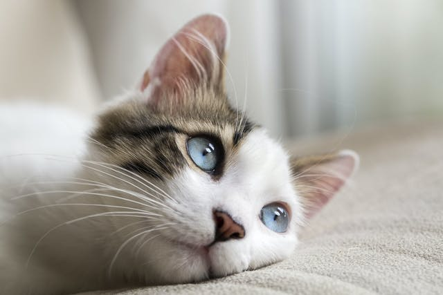 Nose and Sinus Cancer in Cats - Symptoms, Causes, Diagnosis, Treatment, Recovery, Management, Cost