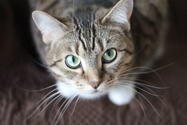 Cystotomy in Cats - Conditions Treated, Procedure, Efficacy, Recovery, Cost, Considerations, Prevention