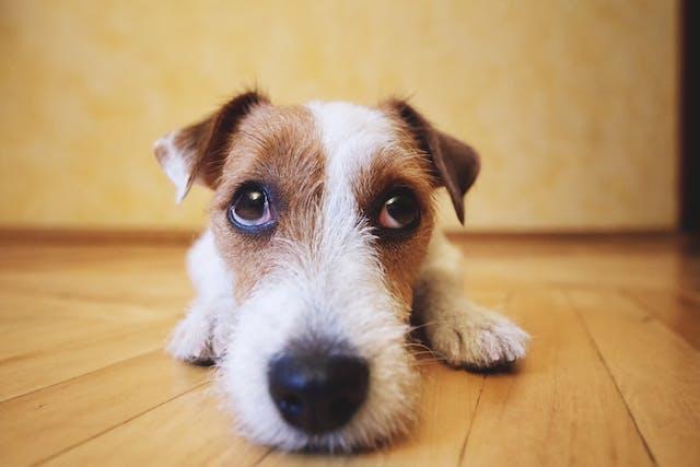 Difloxacin for Dogs | Wag!