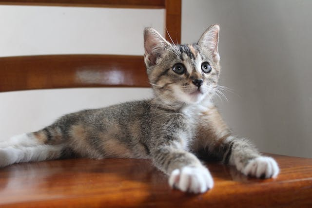 What are Poultry Allergies in Cats?