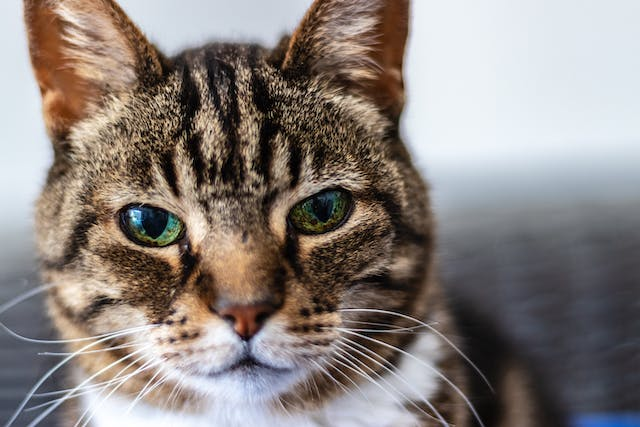 Hyperpigmentation in Cats - Signs, Causes, Diagnosis, Treatment, Recovery, Management, Cost