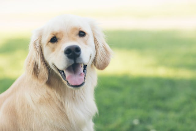 Tooth Pain in Dogs - Symptoms, Causes, Diagnosis, Treatment, Recovery, Management, Cost