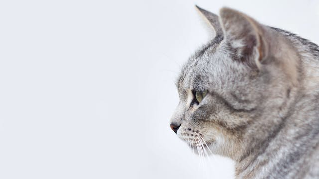Cefadroxil for Cats