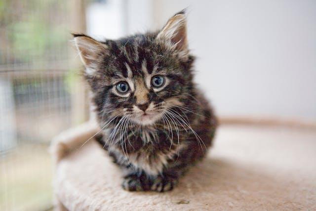 Benazepril for Cats