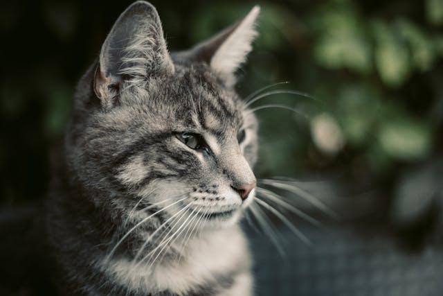 Clindamycin for Cats